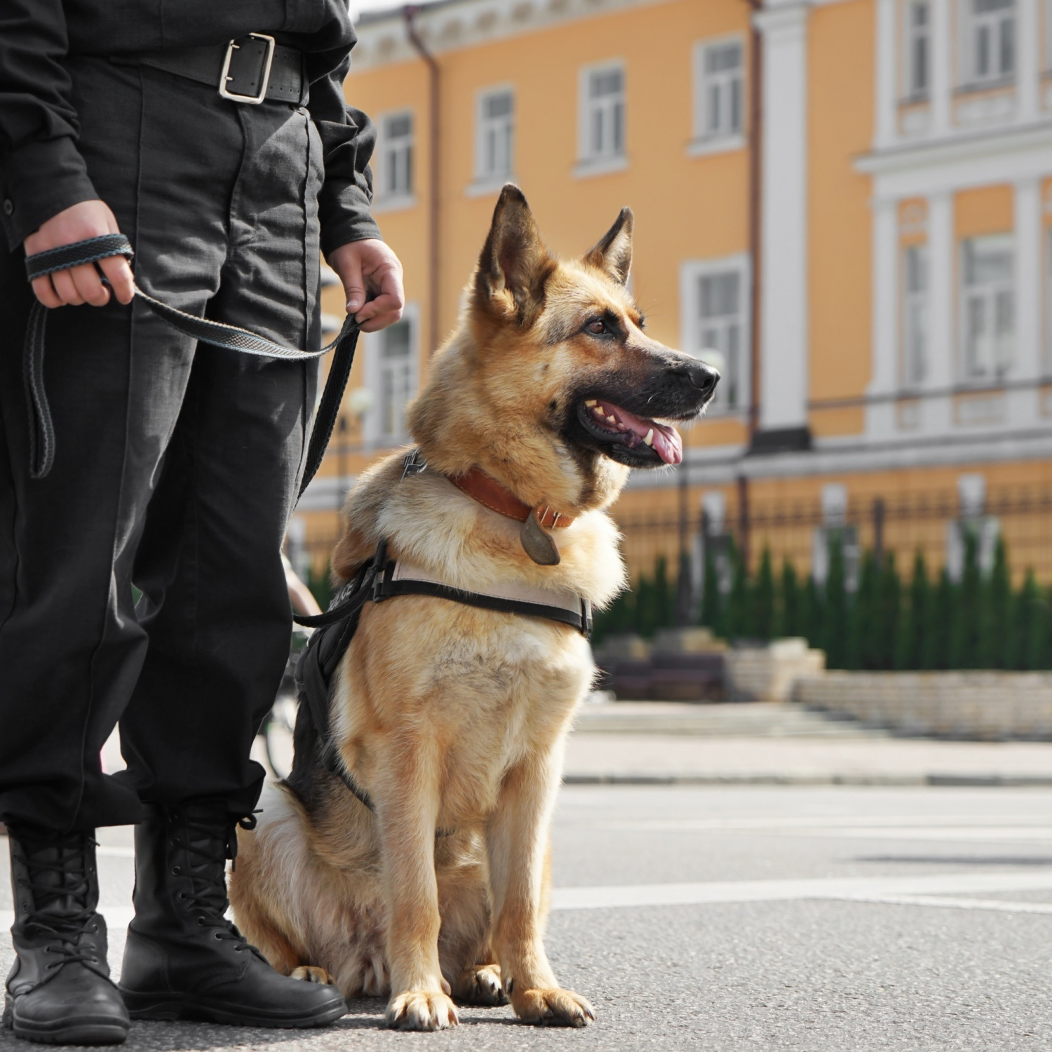 Smart,Police,Dog,Sitting,Outdoors